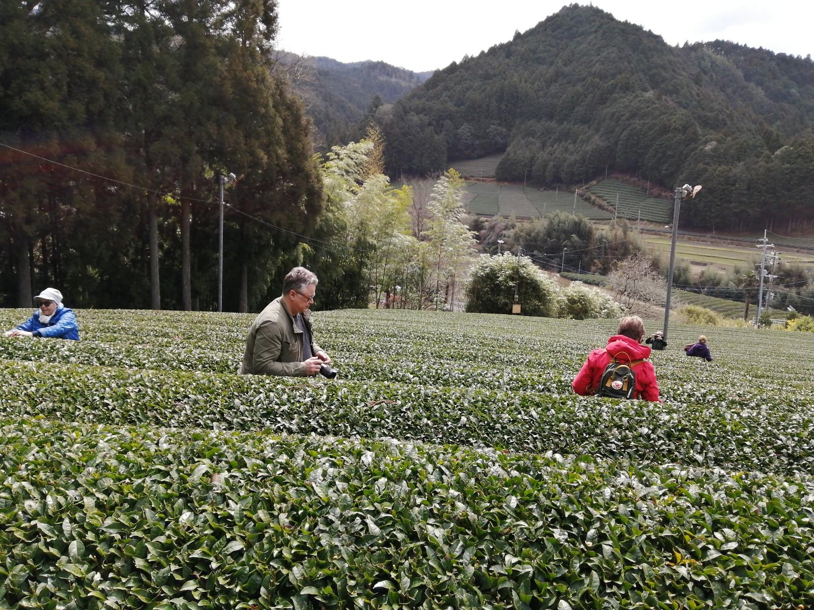 Wazuka:dmatcha Cafe Tea Picking Tour ②