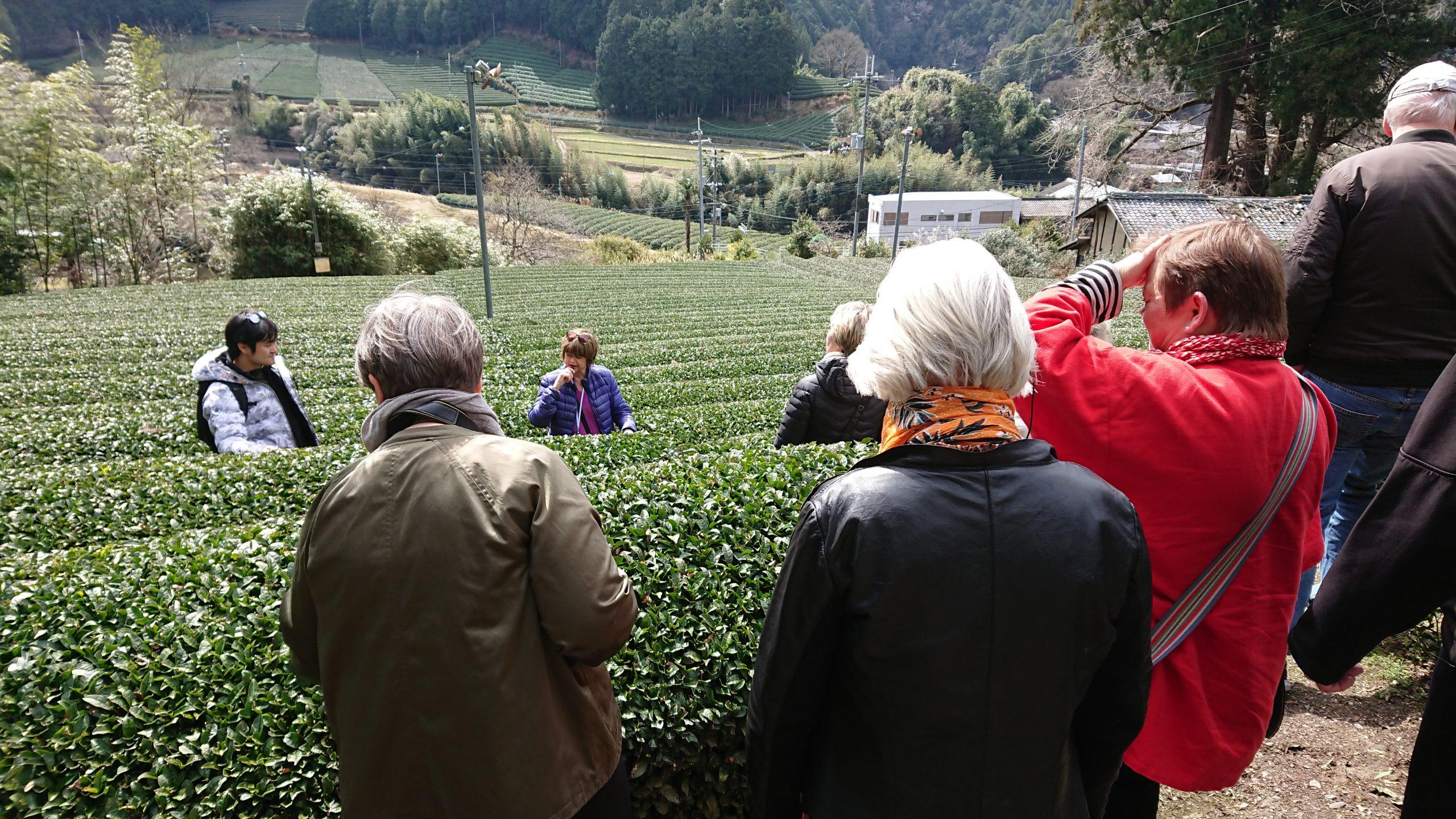 Wazuka:dmatcha Cafe Tea Picking Tour④