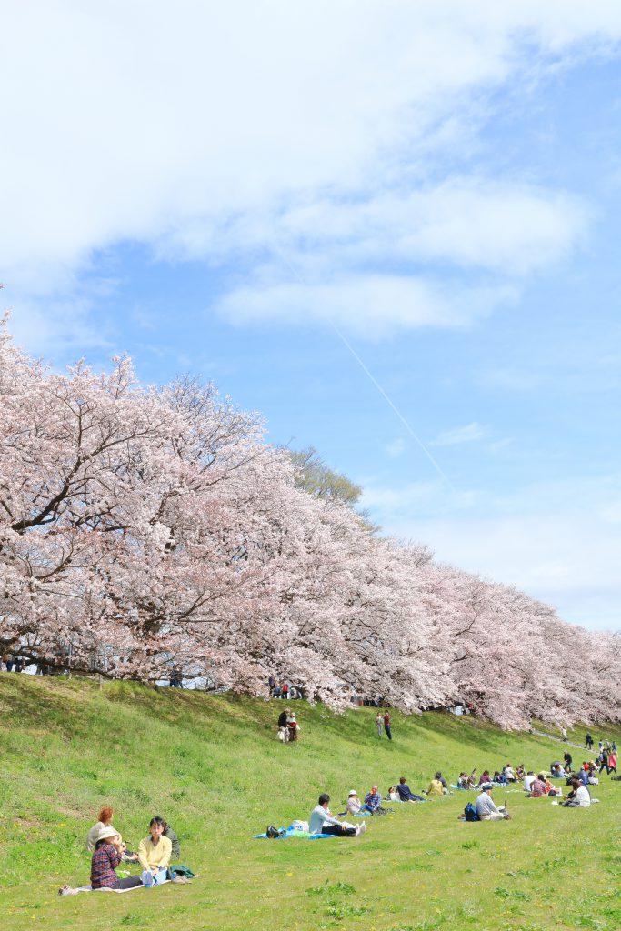 淀川河川公園背割提地区(桜)