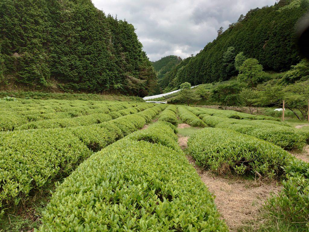 Birth place of Japanese green tea.Obukudani(Valley)  tea plantation : Ujitawara-Town Kyoto.
